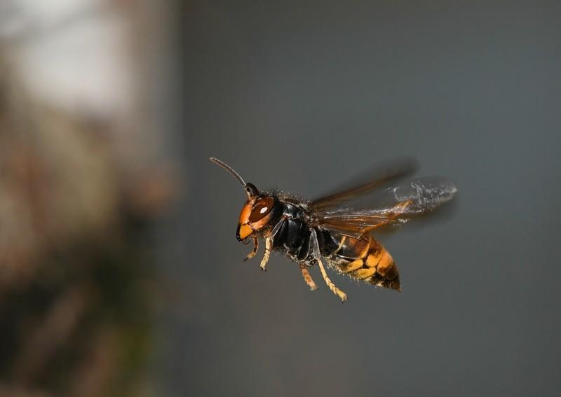 reconnaître guêpe abeille et frelon