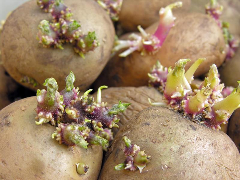 toxine pomme de terre