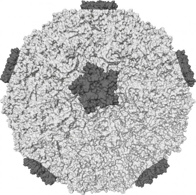 Photo : surface moléculaire d'un rhinovirus