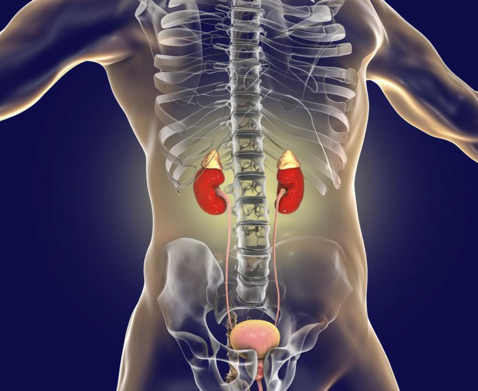 Creatinine urinaire et creatinine sanguine : quelle difference ?