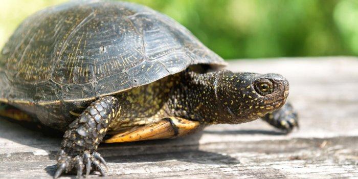 USA : une épidémie de salmonellose sévit à cause de tortues de compagnie !