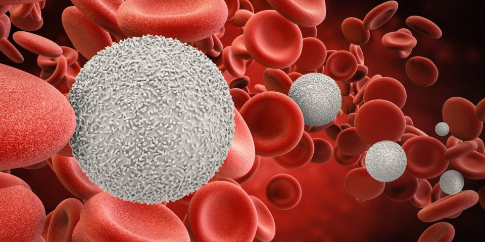 Leucocytes : globules blancs trop élevés ou bas, quel est le bon taux dans le sang ?
