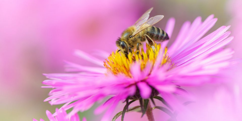 Cancer du sein : une étude vante les mérites du venin d'abeille