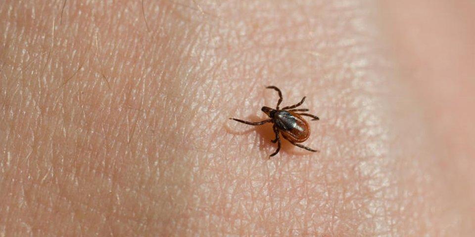 Maladie de Lyme : un antibiotique capable de