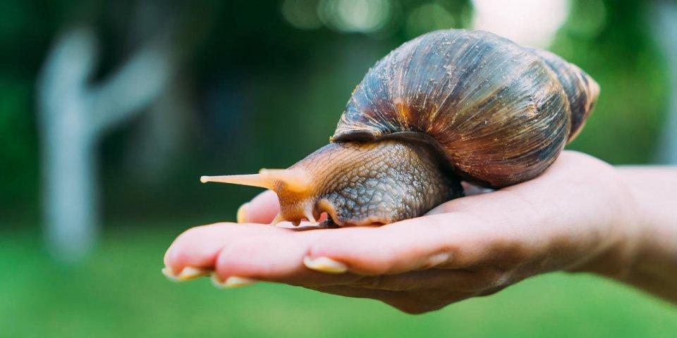 Des escargots responsables d'un type de méningite