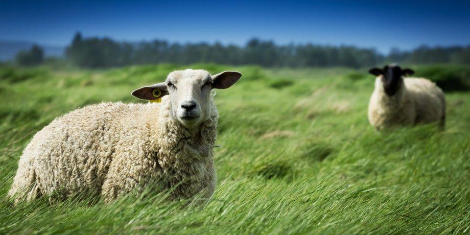 Coronavirus : des chercheurs veulent utiliser les anticorps des moutons pour produire des tests