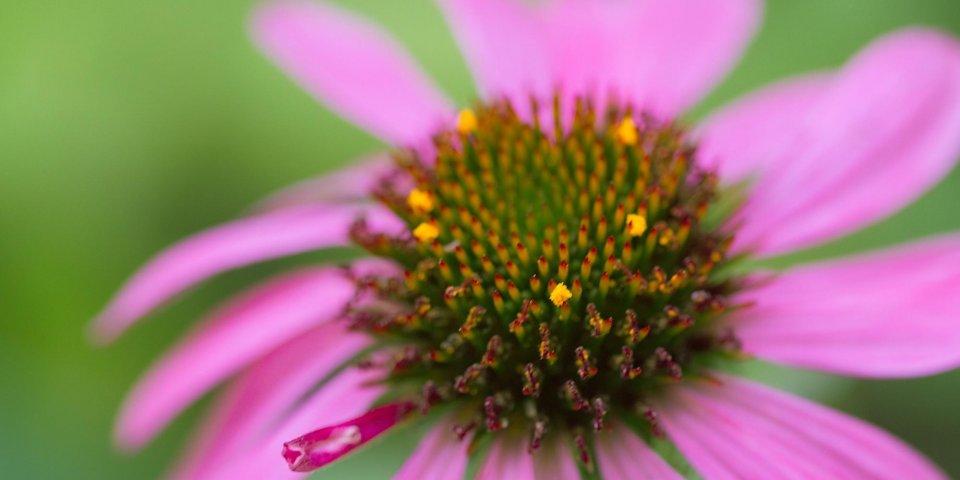 Echinacée : LA plante de l'hiver !