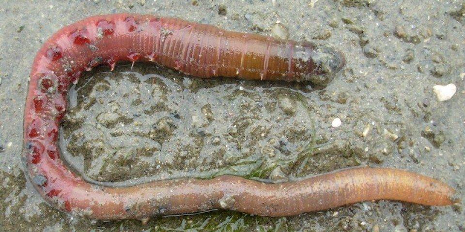 Covid-19 : du sang de ver marin pourrait soigner des malades en détresse respiratoires