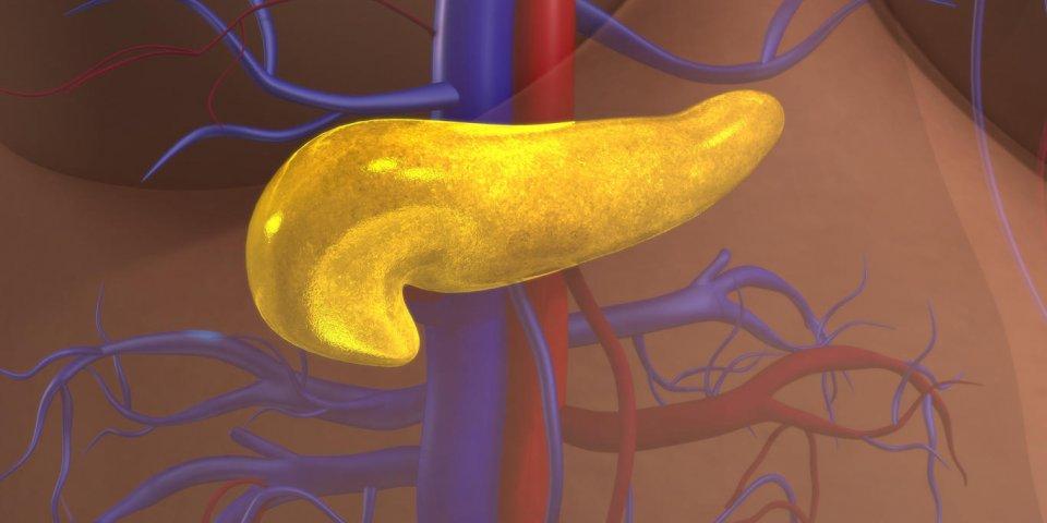 le pancréas est un organe glandulaire dans le système digestif et le système endocrinien des vertébrés
