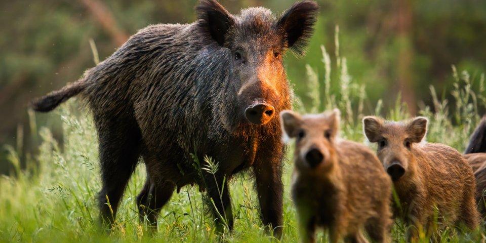 Pyrénées-Orientales : deux chasseurs contaminés par la trichinellose après avoir mangé du sanglier