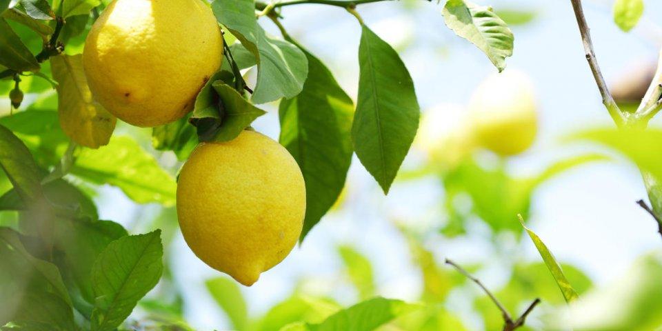 citrons sur la branche se bouchent