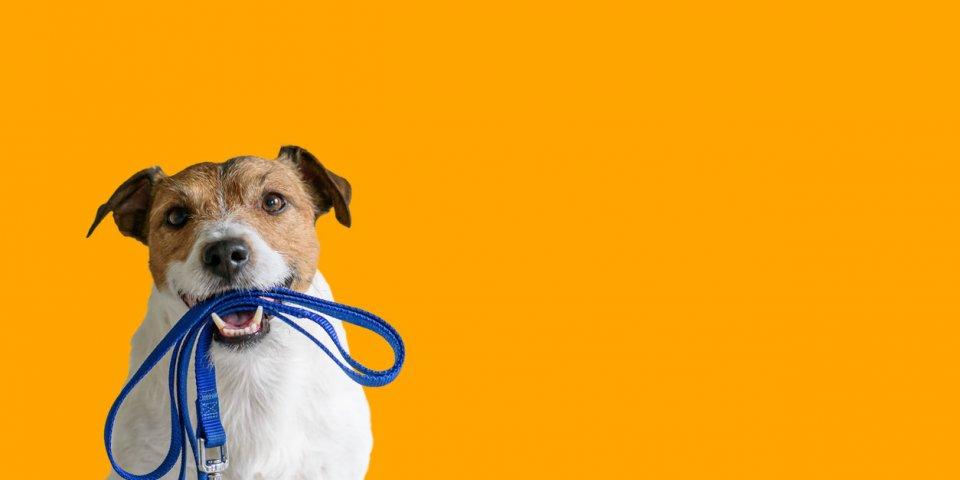 Covid-19 : pourquoi les propriétaires de chien sont plus à risque