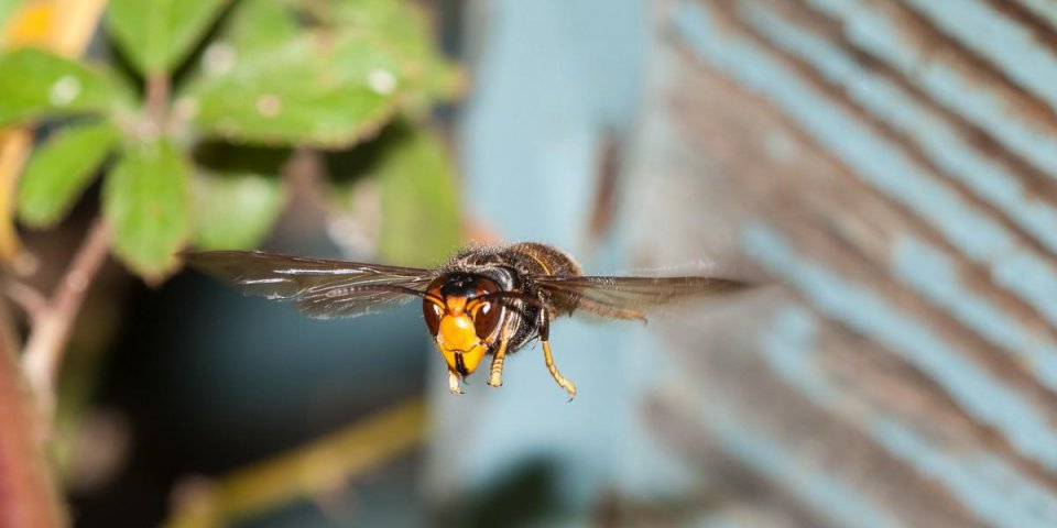 asian hornet in flight next to a hive of bees