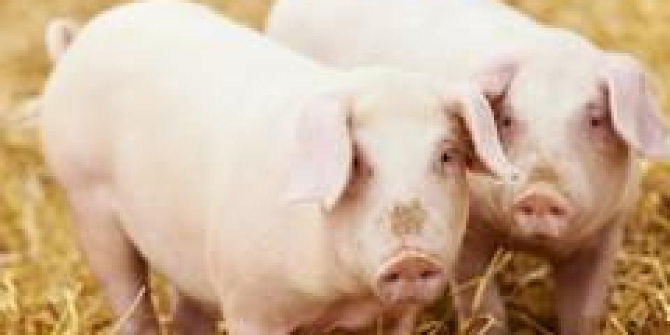 oreilles porcs, listeriose