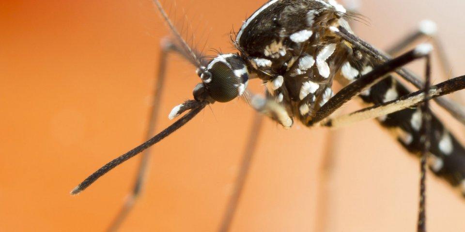 Piqûre de moustique tigre : quelles maladies peut-il vous transmettre ?