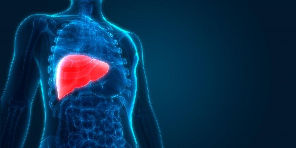 3d illustration of human liver anatomy