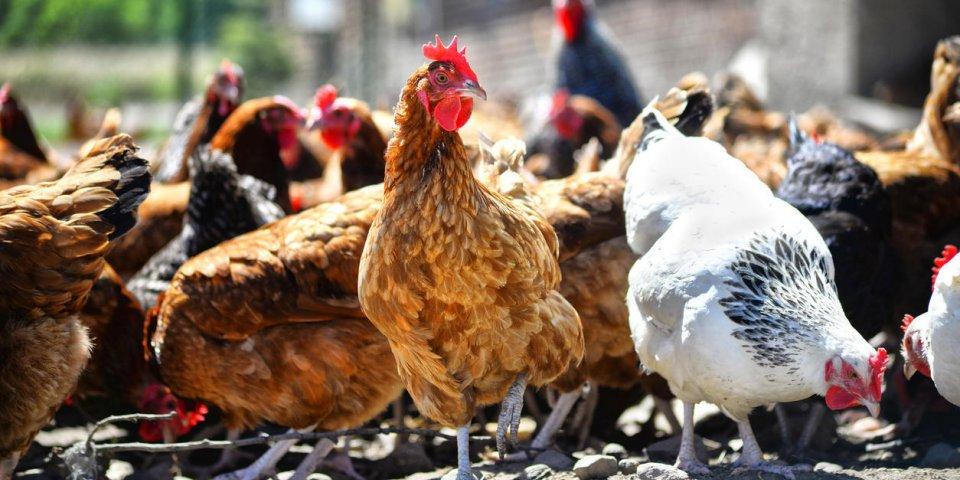 Grippe aviaire : symptômes, prévention et traitement