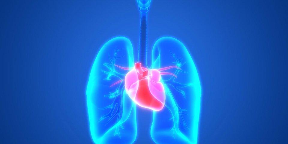 illustration 3d des organes du corps humain (poumons avec l'anatomie du cœur)