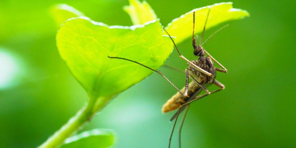Moustique tigre : les œufs pondus il y a des années peuvent éclore avec la pluie
