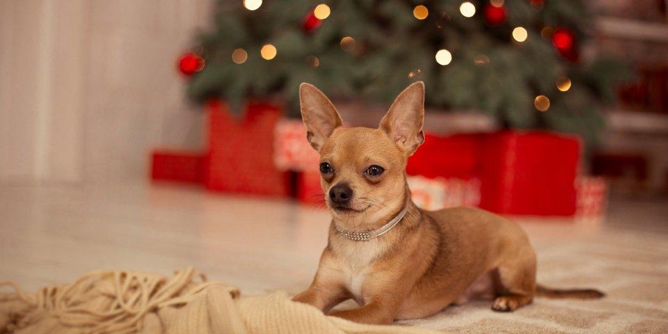 Noël : 4 fois plus d'empoisonnements au chocolat chez les chiens !