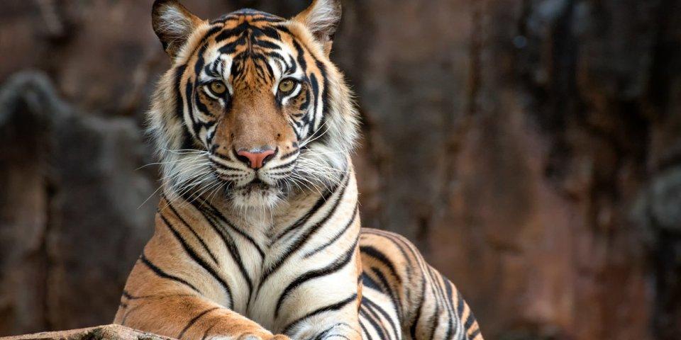Fort Boyard : les tigres de l'émission sont-ils drogués ?