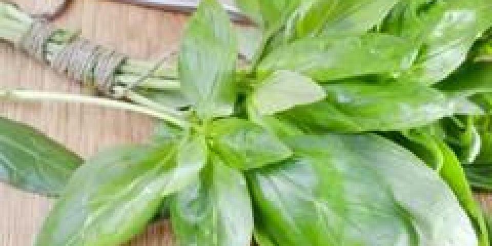 Basilic : une vraie plante médicinale !